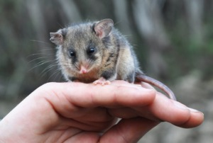 Mountain-Pygmy-Possum